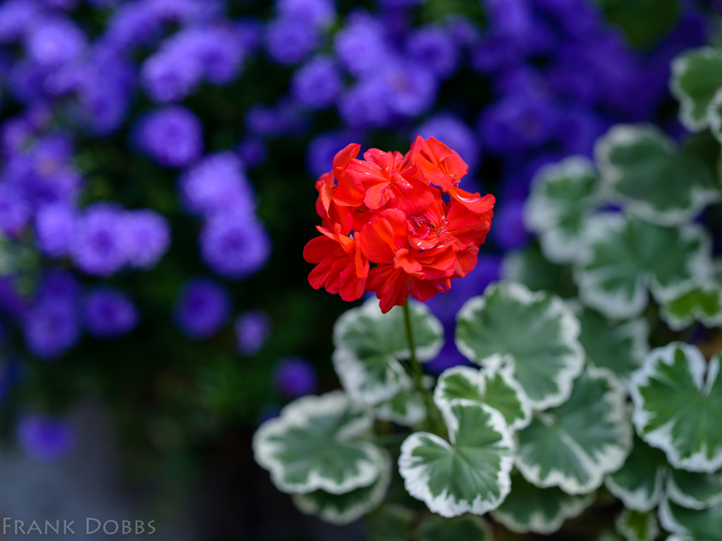 variegated-geranium-with-asters-in-the-background-20161016-4244